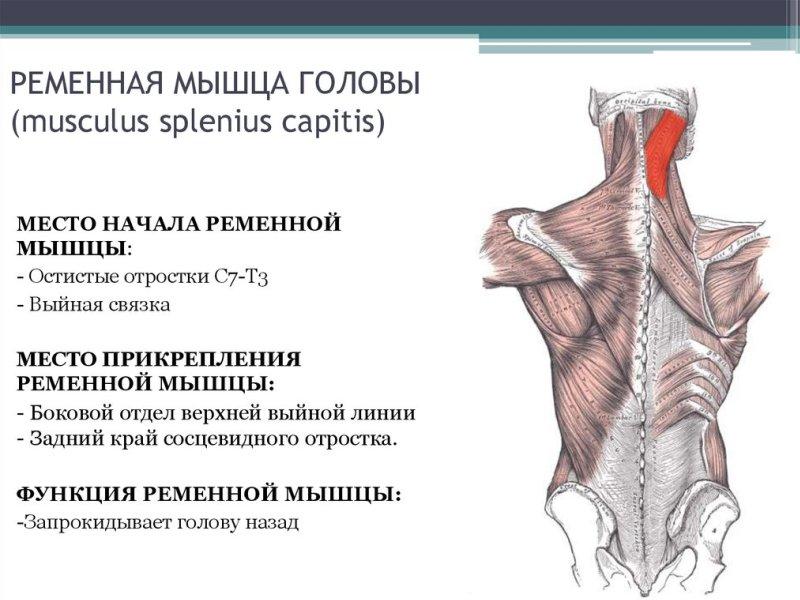 ременная мышца головы