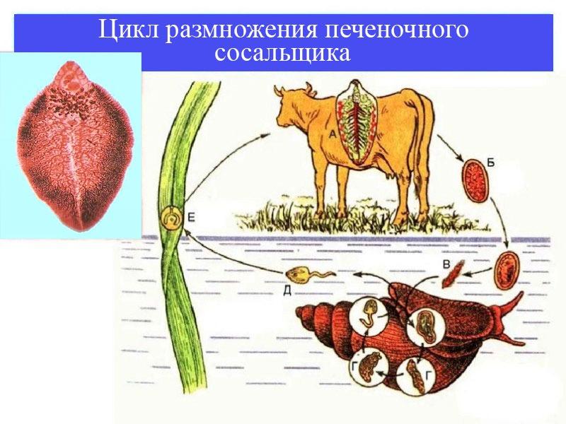 цикл размножения печеночных сосальщиков