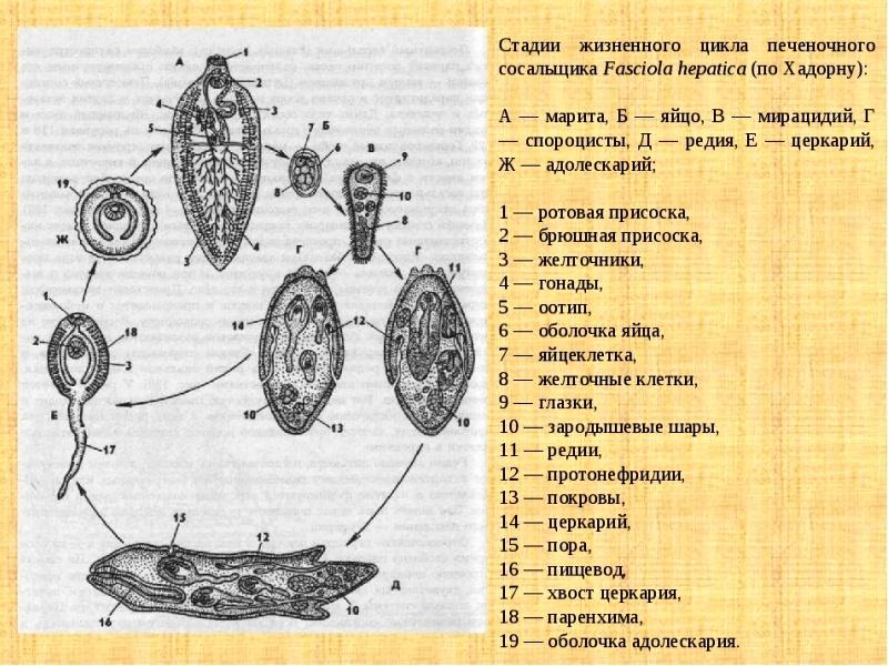 стадии жизненного цикла печеночного сосальщика