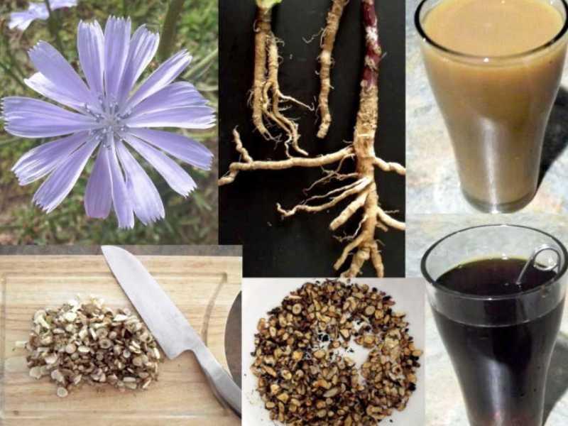 Полезный цикорий - листья, цветы, корневища