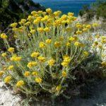 Бессмертник песчаный – лечебные свойства