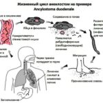 Анкилостома (Кривоголовка) или Некатор – опасные паразиты человека