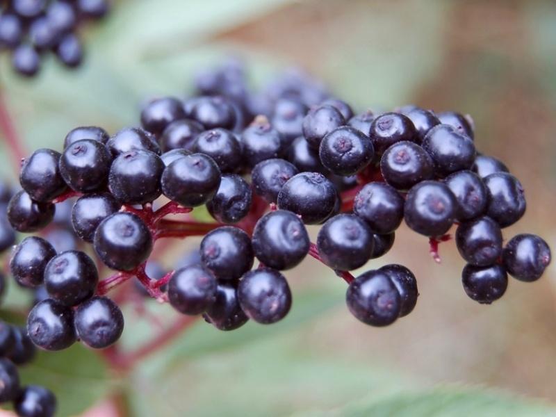 бузина чёрная плоды