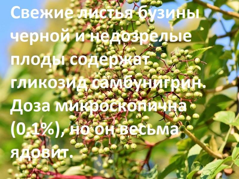 незрелые ягоды и листья ядовиты