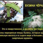 Лечебные свойства бузины чёрной
