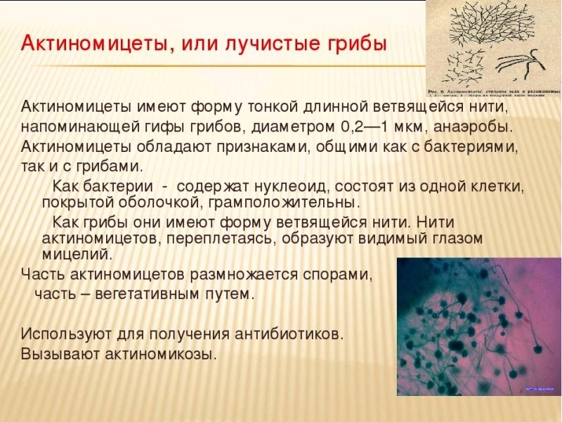 Грибы актиномикоза