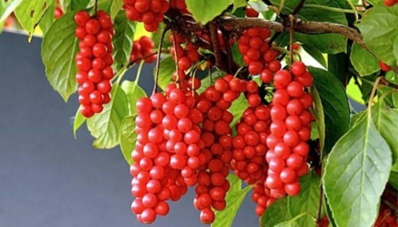 ягоды китайского лимонника