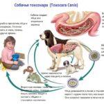Токсокароз  опасная болезнь